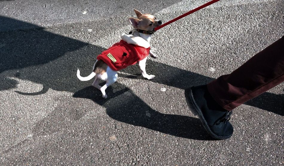 Beautiful stock photos of chihuahua, Animal Themes, Chihuahua, Day, Dog
