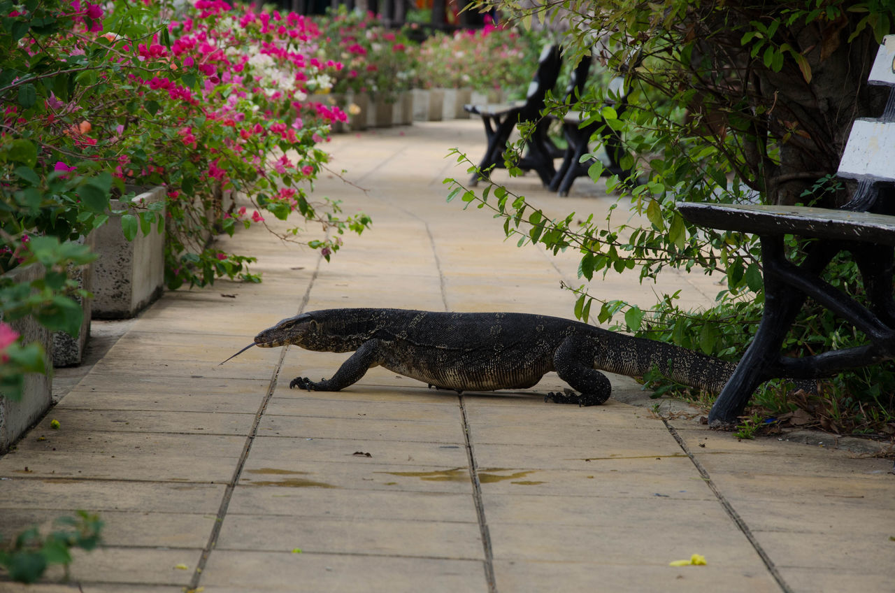 Varan walking in the park in Asia Alone Animal Animals Animals In The City ASIA Asian  Benches BIG Captivity City Crocodile Flowers Freedom Nature Outdoors Patch Repetition Reptiles Tree Varan Walking Walkway Wild Wildlife Zoo