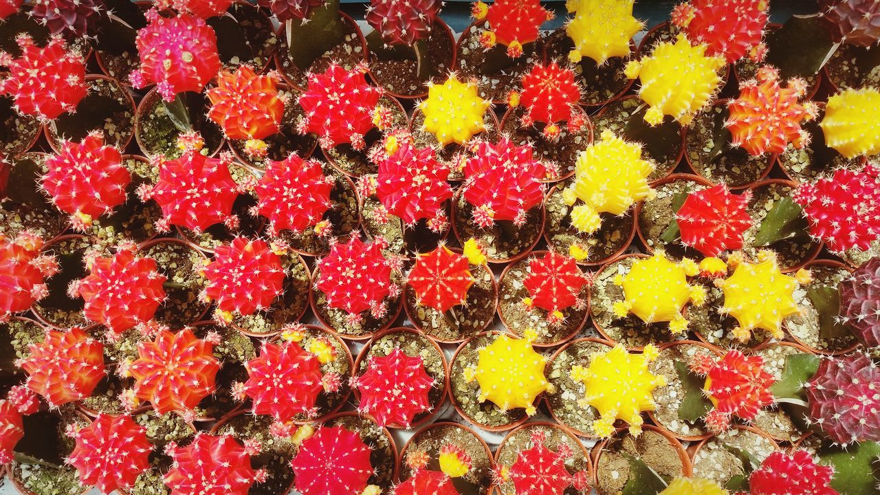 Cactus Plant Colorful Red Yellow Flower Backgrounds Freshness Growth Close-up Flower Head Beauty In Nature Nature Outdoors Nature Pattern Top View Abstract Thorn Freshness Beauty In Nature Eyeemphotography Background EyeEmBestPics Getty Images