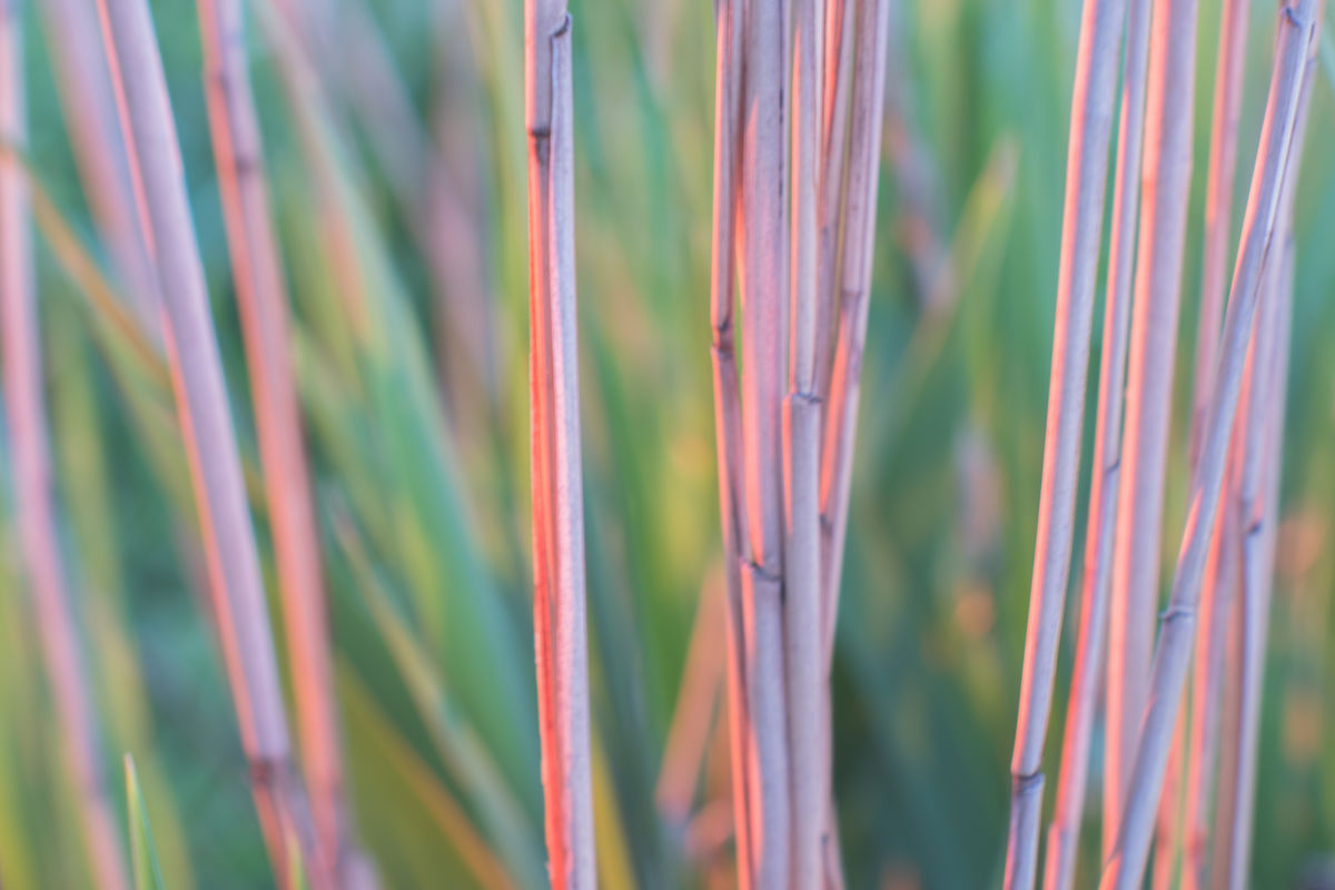 Reed background Backgrounds Close-up Day Fresh On Eyeem  FUJIFILM X-T2 Golden Hour Grass Growth Nature No People Outdoors Plant Porst Color Reflex 1.2/55mm Reed