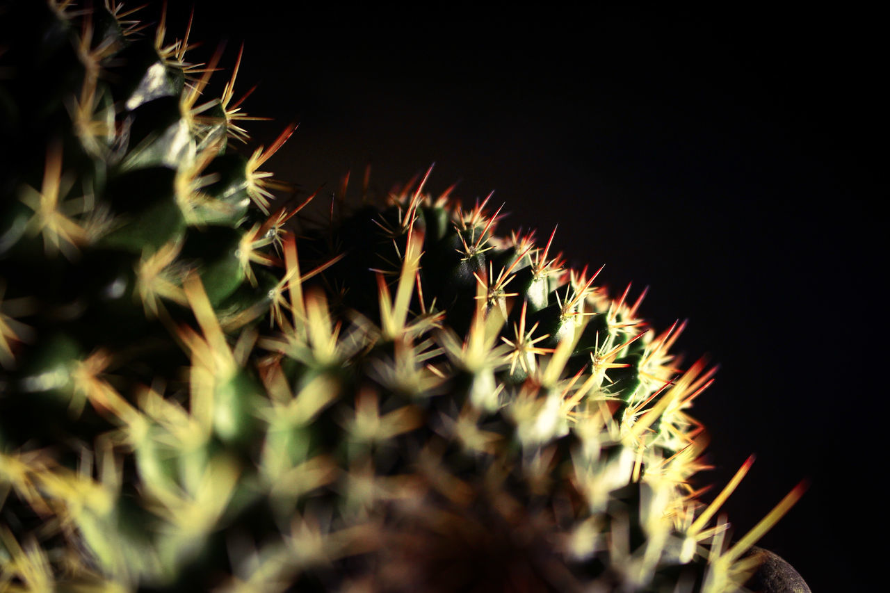 selective focus, spiked, thorn, night, growth, close-up, cactus, nature, no people, plant, outdoors, beauty in nature