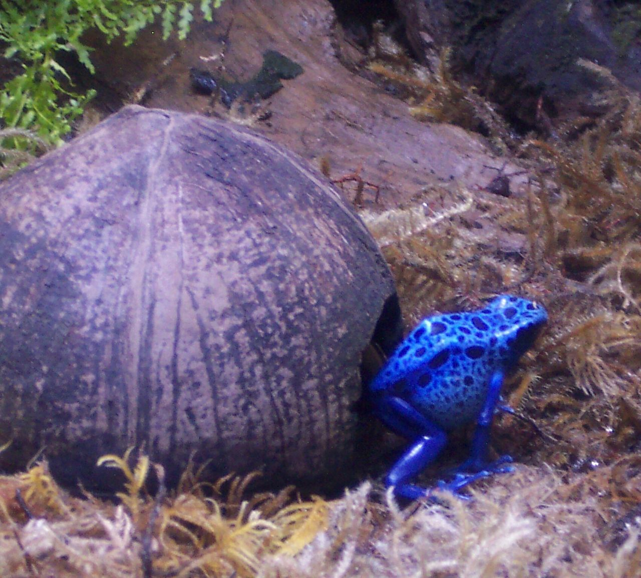 Blue Frog Poisonous Frog Exotic Creatures Amphibian Nature Close-up
