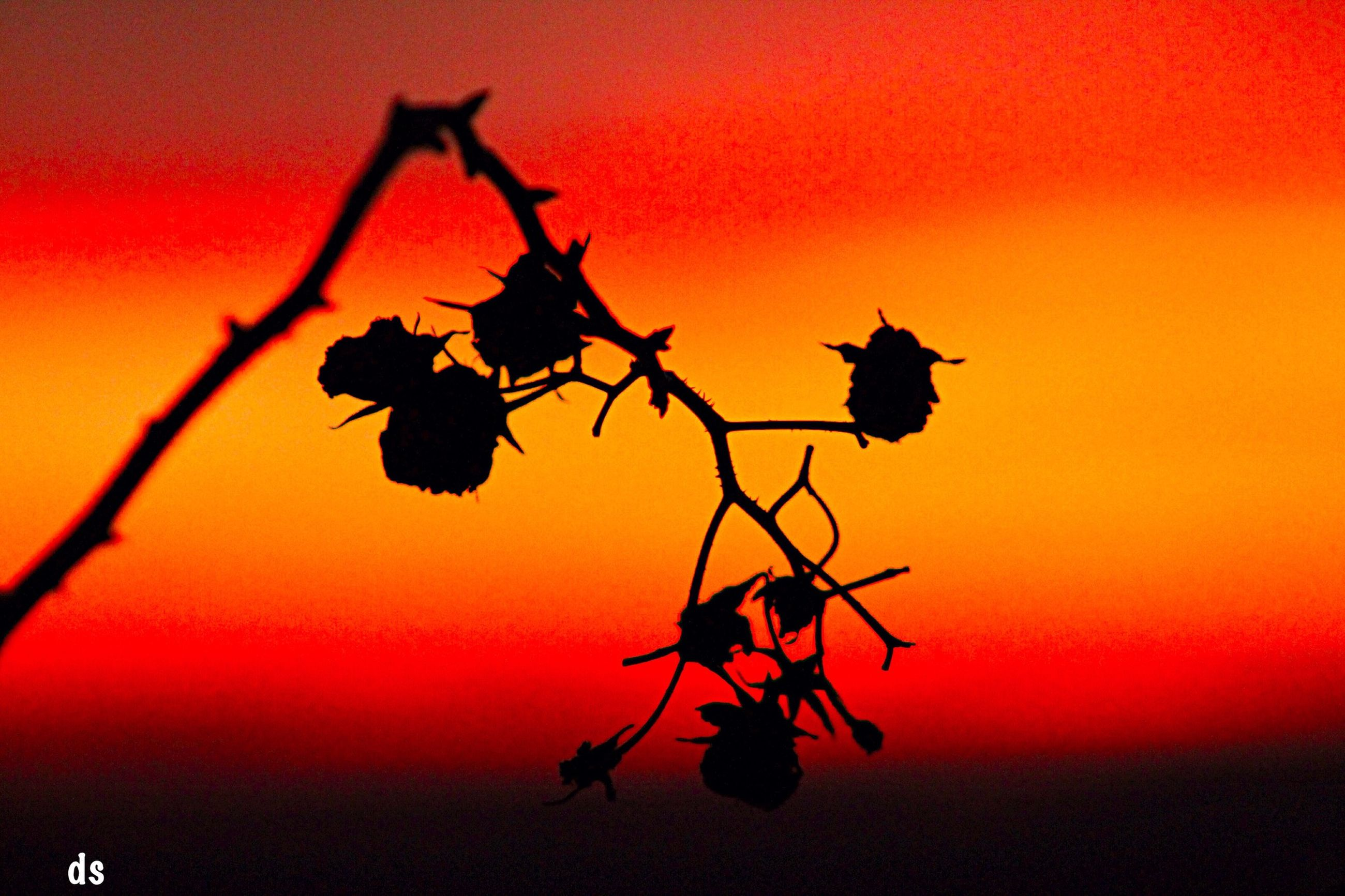 sunset, orange color, branch, beauty in nature, silhouette, red, nature, leaf, growth, sun, tranquility, plant, tree, scenics, twig, stem, sky, idyllic, tranquil scene, no people