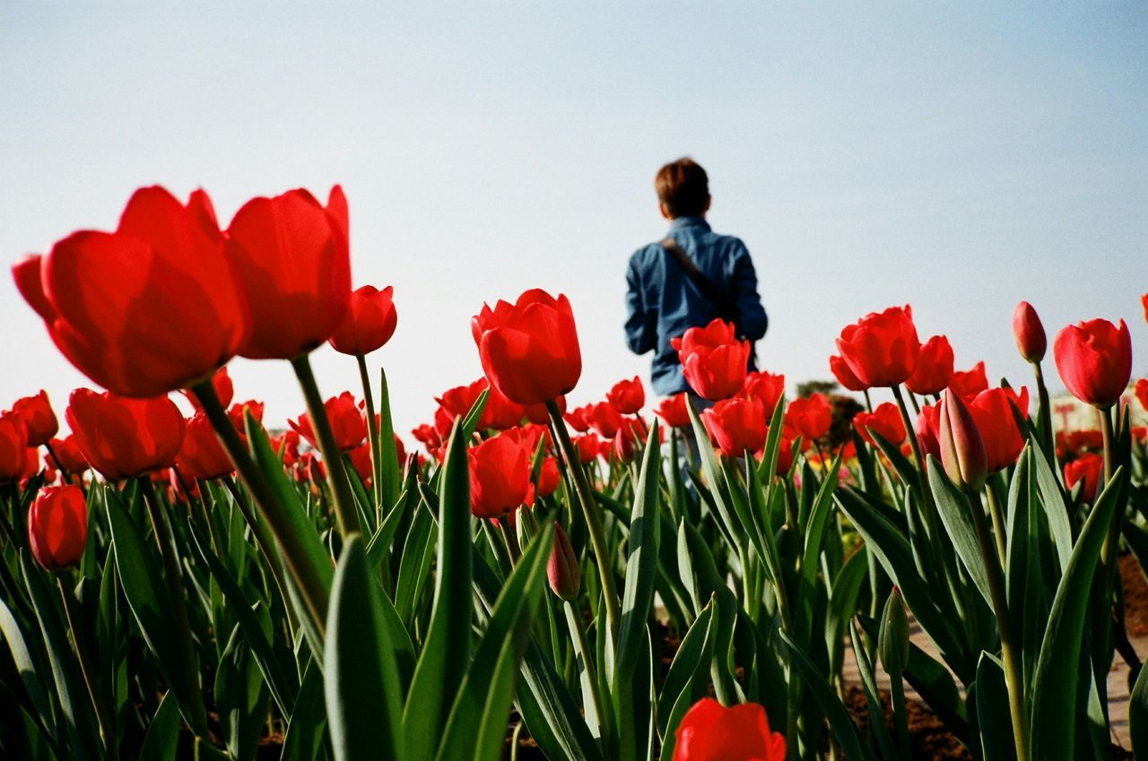 Beautiful stock photos of red, Beauty In Nature, Blooming, Casual Clothing, Clear Sky