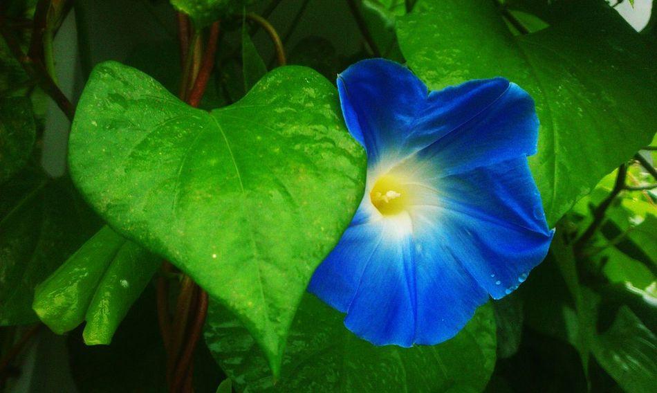 Ipomea Prunkwinde Floweroftheday Flowerporn Flower#garden#nature#ecuador#santodomingoecuador#eyeEmfollowers#iphoneonly#nofiltrer#macro_garden#pretty#beautiful#followme#sho Flower Power Flowerstagram