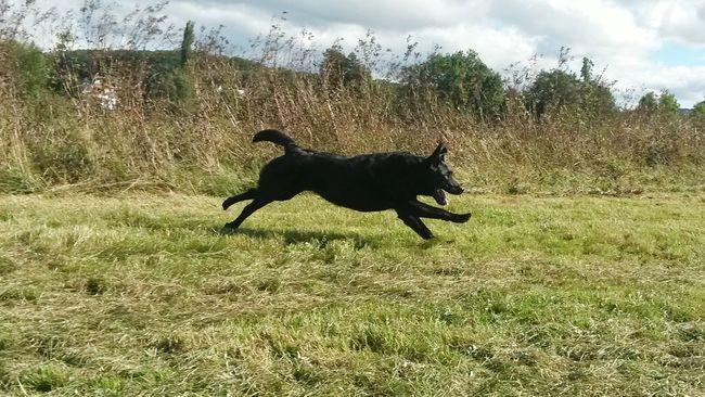 Dog Running Running Dog Running On The Grass