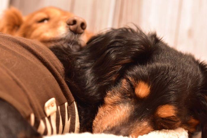 Happy 14th Birthday,Pooh 😊🎂 おめでとう お誕生日 Ilovemydog Birthdaydog Happy Birthday! Birthday Dog Dogslife Dog❤ Dogs Of EyeEm Dachshund Dog Photography Sleeping Sleeping Dog Doglover Dogstagram Nikon D7200