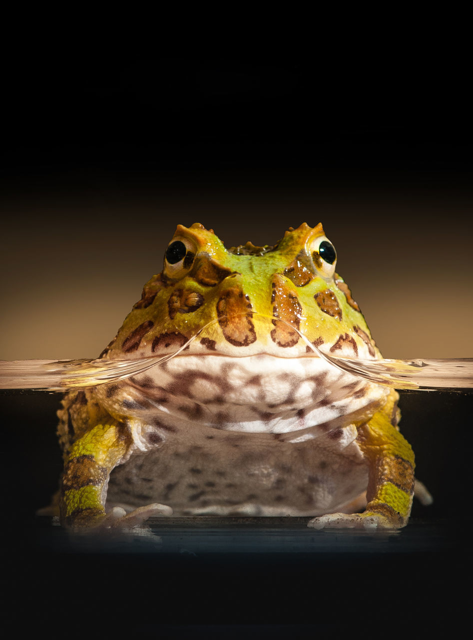 animal themes, one animal, animals in the wild, close-up, reptile, animal wildlife, no people, black background, studio shot, indoors, water, night