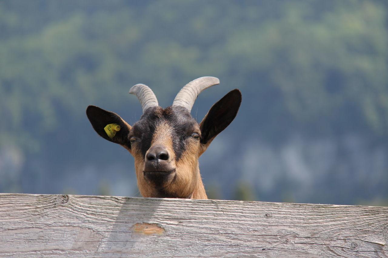 Beautiful stock photos of goat, Animal Head, Close-Up, Curious, Day