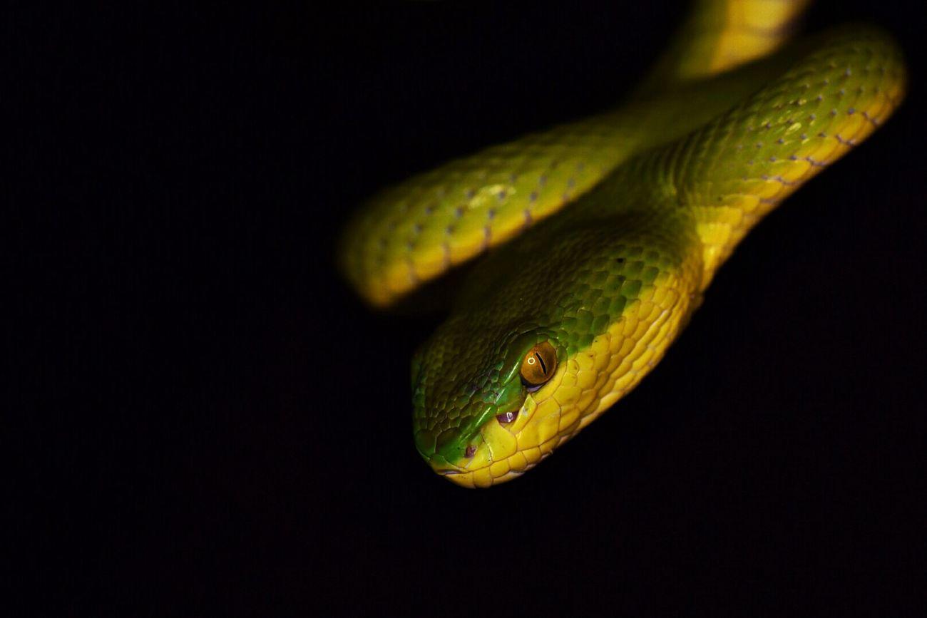 Green pit viper Greenpitviper Pitviper Snakeface Snake Eyes Snakes Of Eyeem Snake Snakehead Snakes Are Beautiful Snake Skin