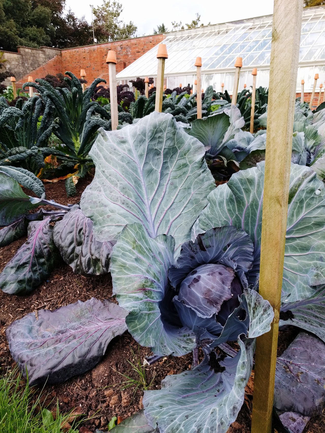 Giant cabbage!