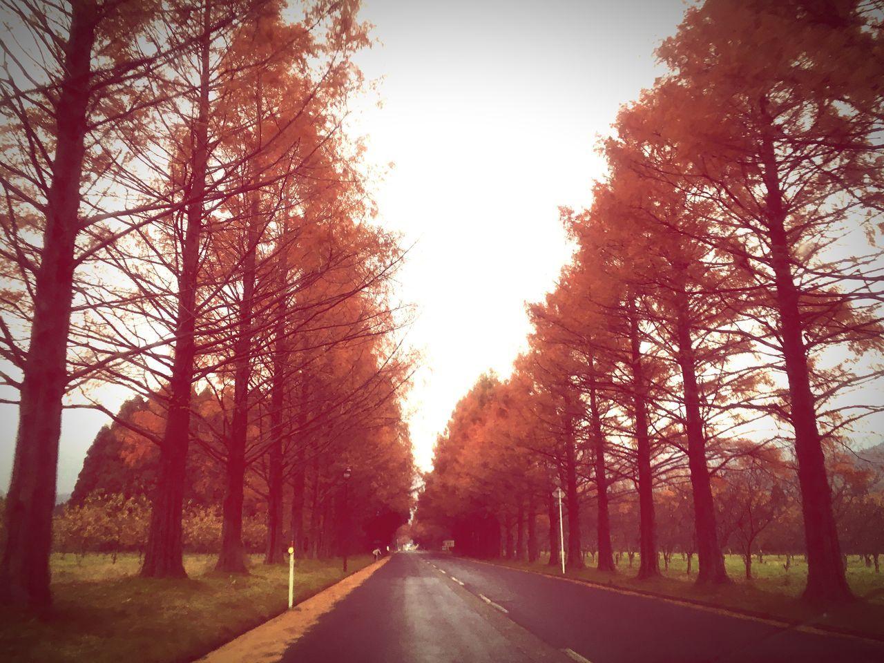 マキノのメタセコイア Tree Road Outdoors The Way Forward Nature Orange Color Transportation Sunlight Beauty In Nature Scenics No People Metasequoia