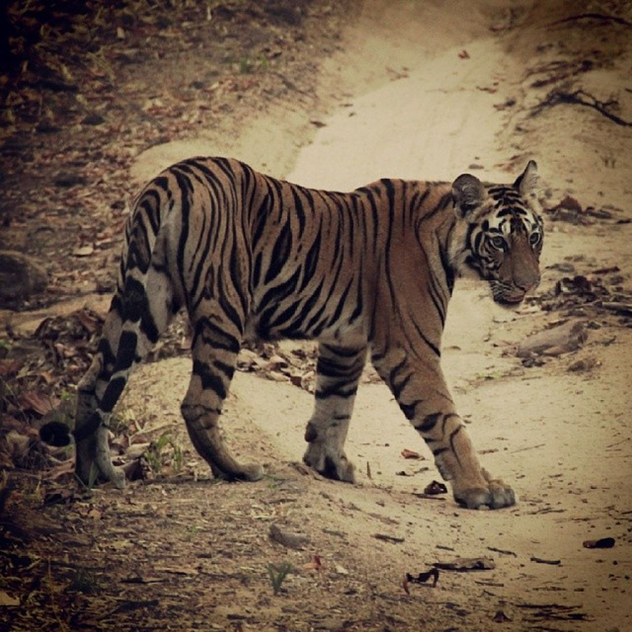 Bandhavgarh Nationalpark Wildlife Wildlifephotography india nature naturehippys wild bengaltiger incredibleindia instawild instagram