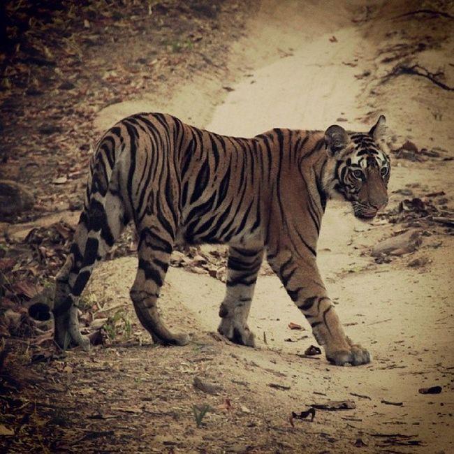 Bandhavgarh Nationalpark Wildlife Wildlifephotography india nature naturehippys wild bengaltiger incredibleindia instawild instagram