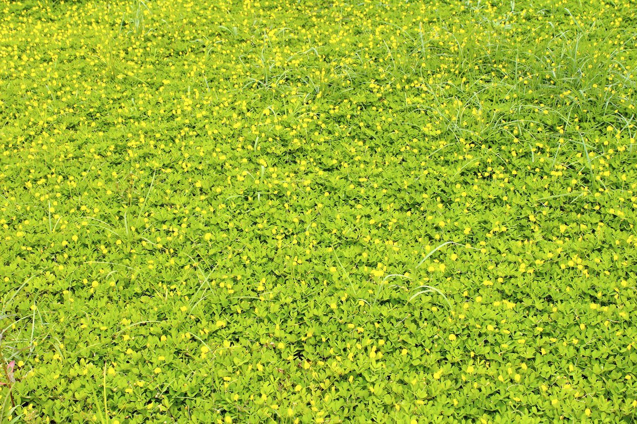 green color, grass, nature, full frame, backgrounds, beauty in nature, lawn, meadow, field, day, no people, scenics, outdoors, growth, green - golf course, freshness, golf course
