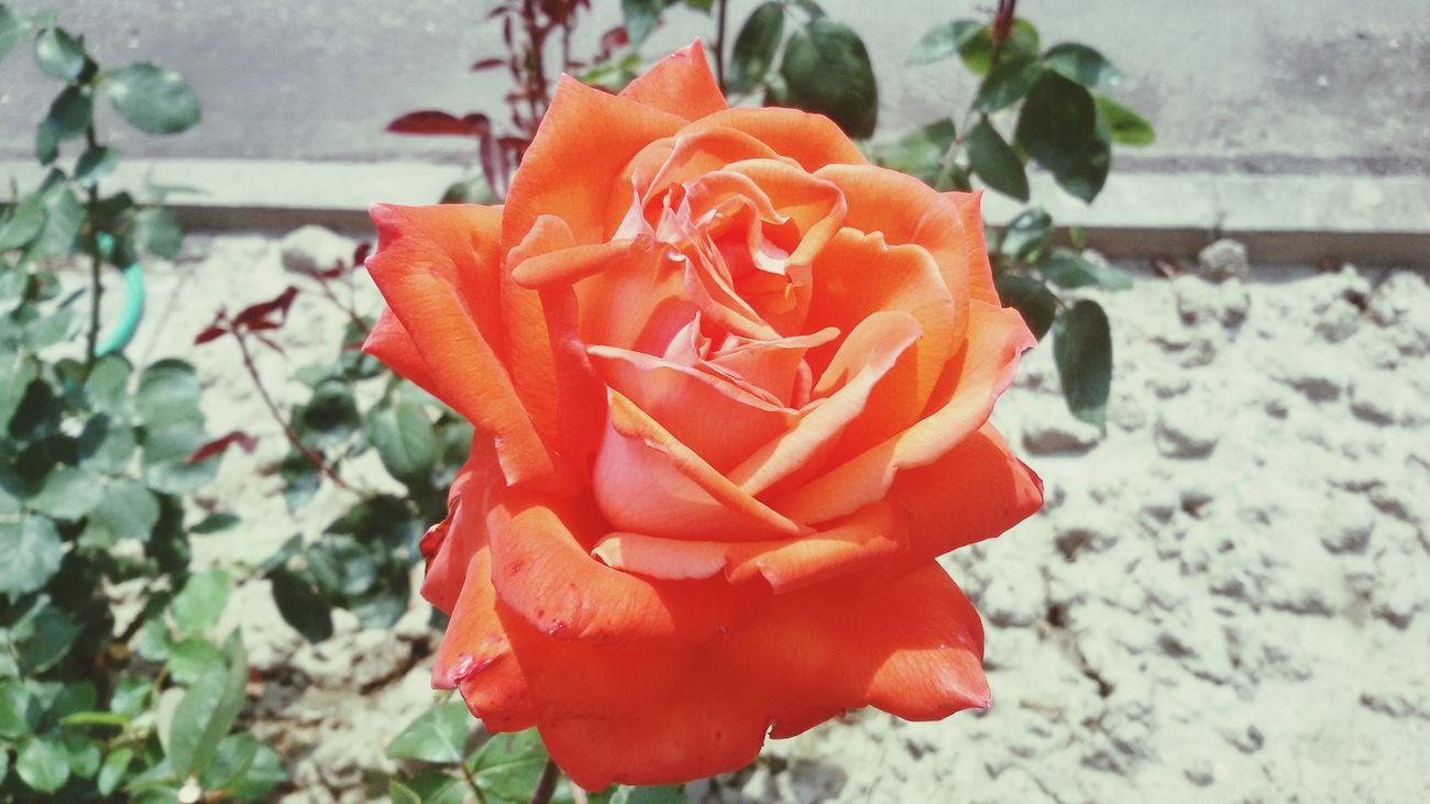 Flower Rose🌹 Orange Garden Capture Lovephotography  Prospective Sun Lightsun Flowerporn