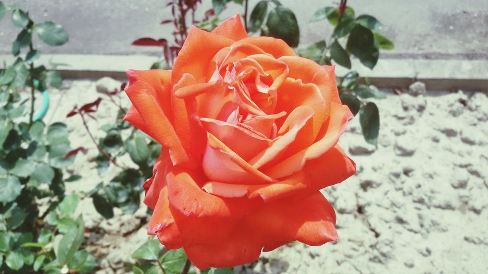 Flower Rose🌹 Orange Garden Capture Lovephotography  Prospective Sun Lightsun Flowerporn