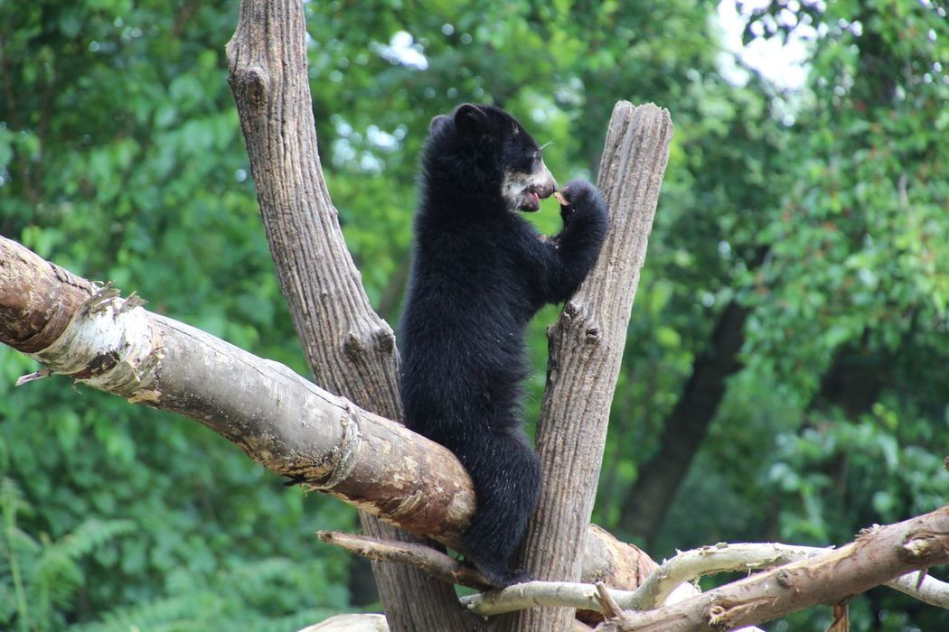 Animal Themes Animal Wildlife One Animal Outdoors up a tree Bear Cub In A Branch Climbing No People