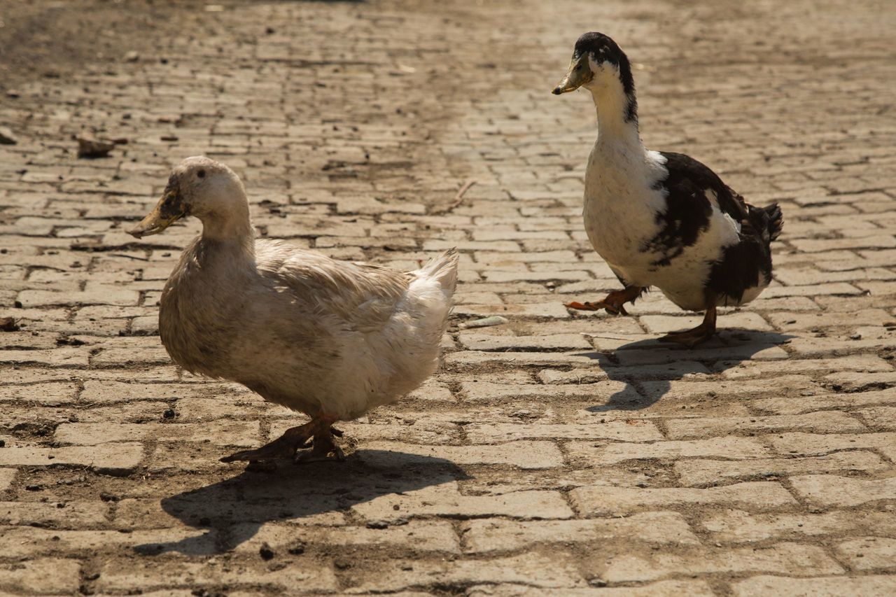 two ducks waddling on a village street Animal Themes Animals Avian Bills Bird Cobblestone Day Ducks Feathers No People Outdoors Street Village Waddling Walking