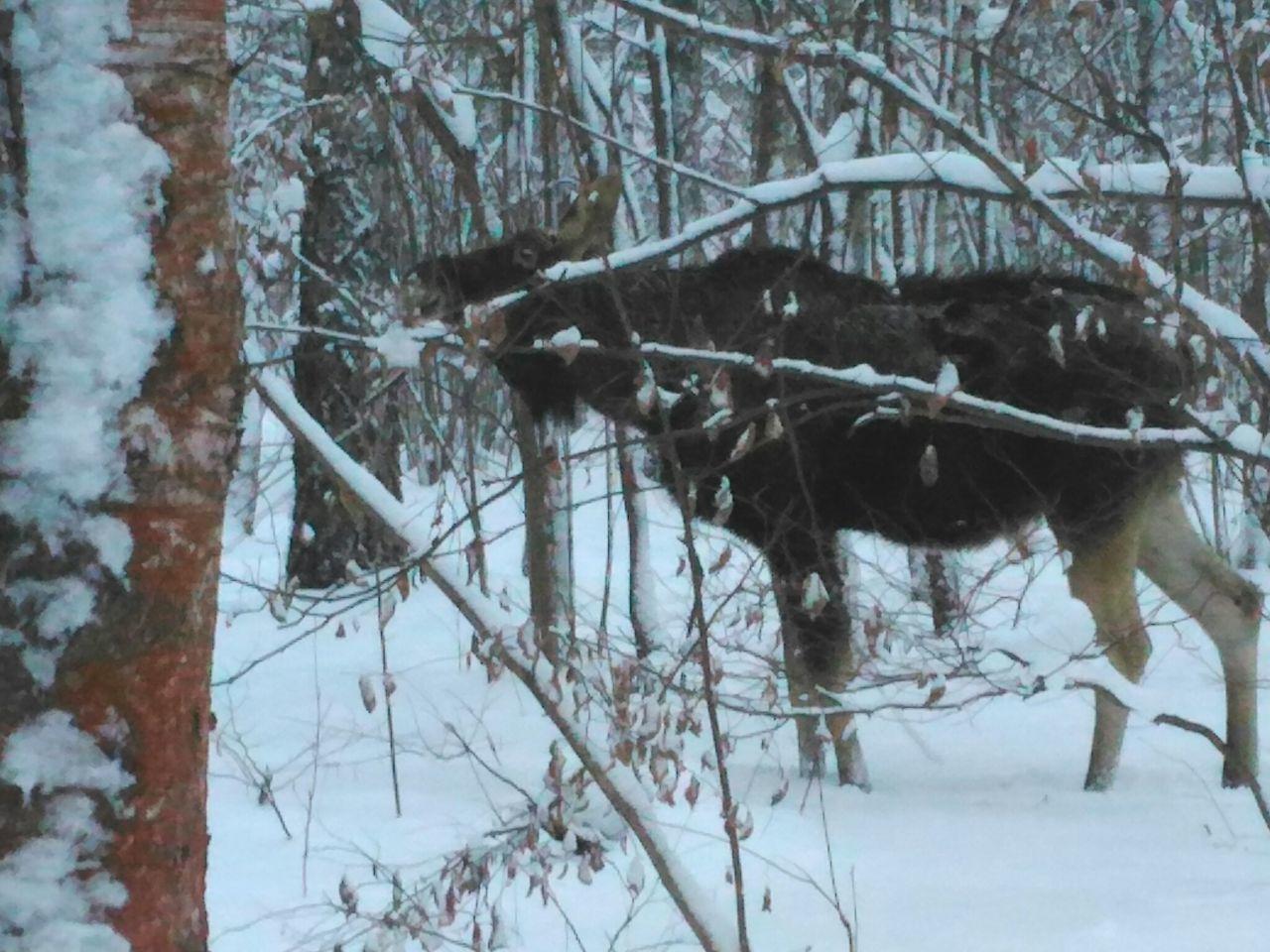 Elk Nature Winter Moscow Russia Nationalpark Eyewitness лось природароссии Москва зима❄️