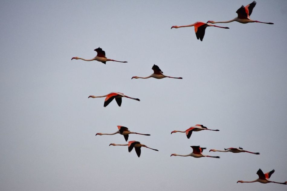 Bird Nature Animals In The Wild Exceptional Photographs Respect For The Good Taste EyeEm Best Shots Let's Do It Chic! Silhouette Flamingo Arrow Flamingos Flying Formation Migrations Spring