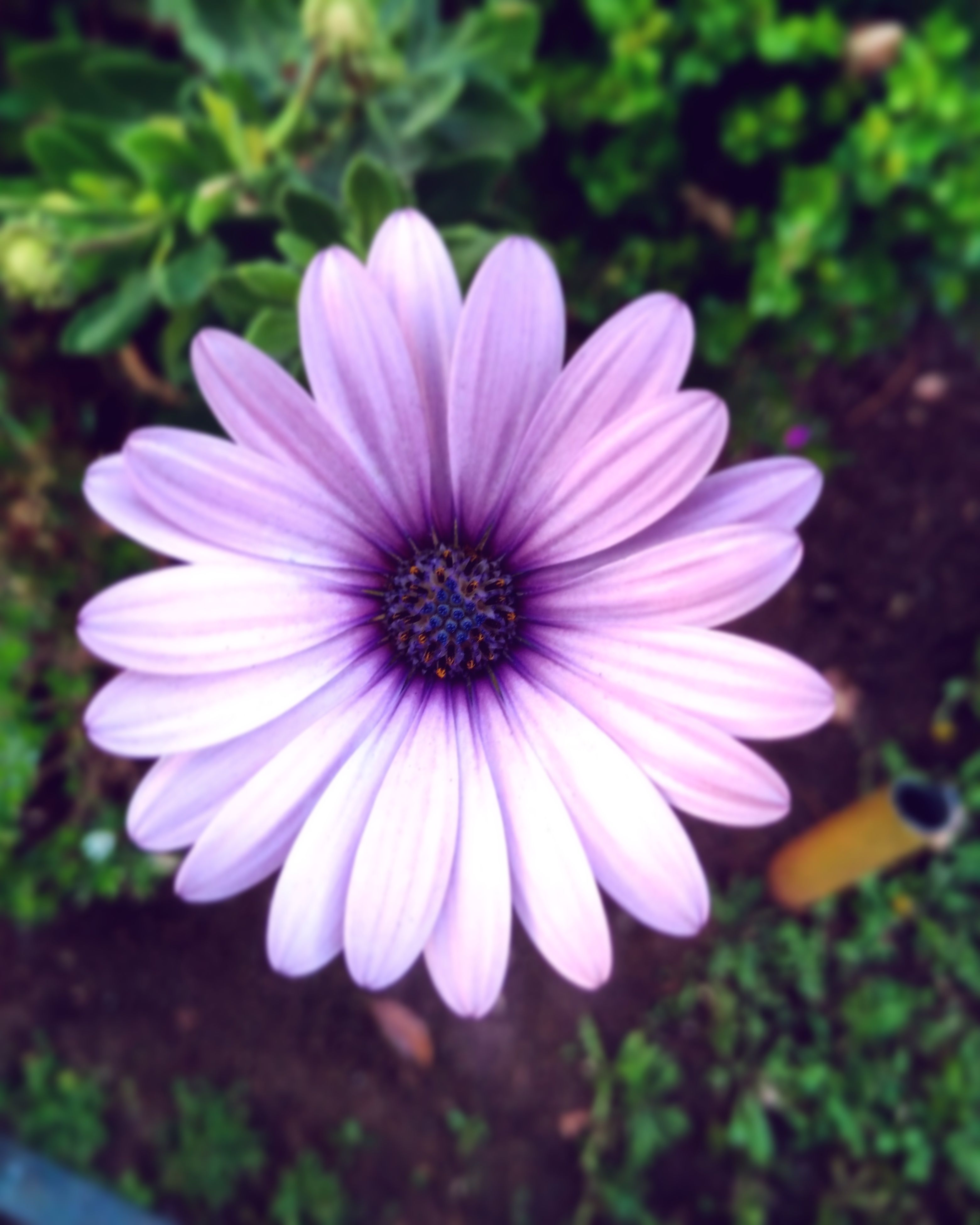 flower, fragility, freshness, petal, flower head, beauty in nature, nature, blooming, growth, focus on foreground, close-up, plant, osteospermum, no people, outdoors, day