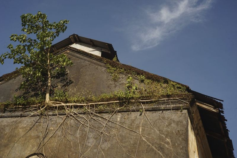 The Tree House. Architecture Blue Clinging To Life Cloud Deterioration Exposed Roots Exterior Growth Outdoors Plant Tranquility Tree Growing On Building Urban Decay