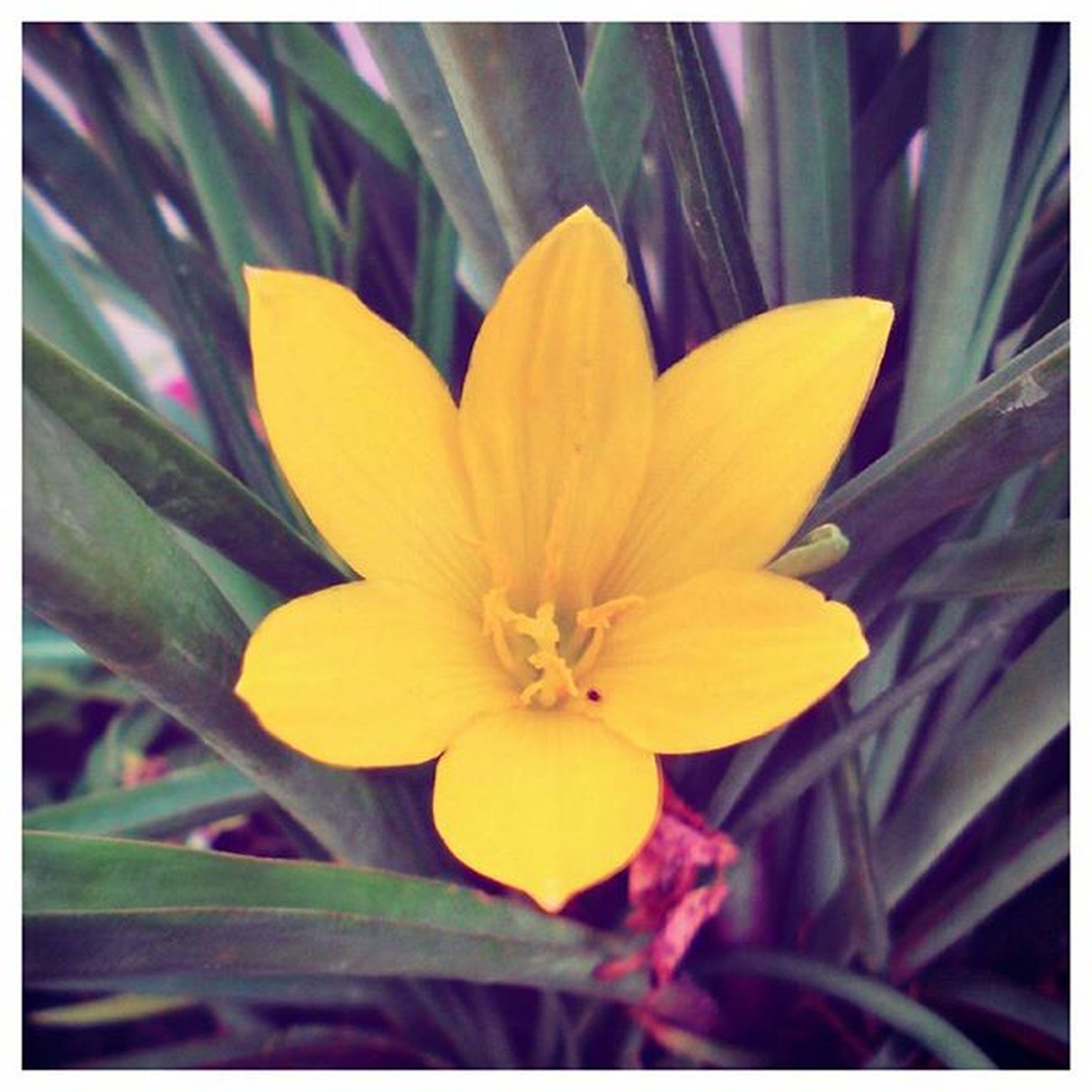 flower, petal, flower head, freshness, fragility, yellow, transfer print, growth, beauty in nature, close-up, blooming, single flower, nature, auto post production filter, pollen, focus on foreground, plant, stamen, in bloom, blossom