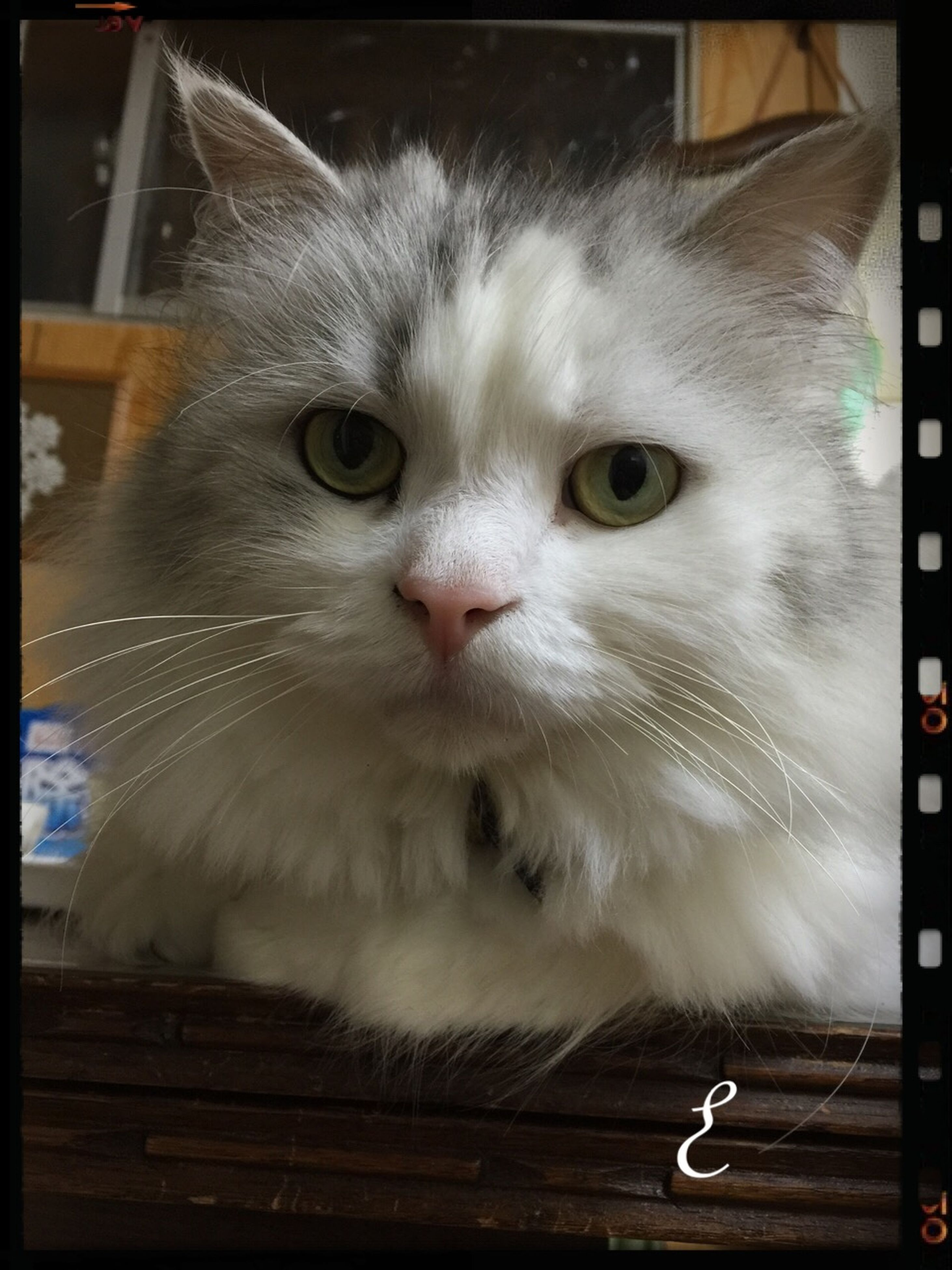 transfer print, domestic cat, one animal, animal themes, cat, pets, auto post production filter, feline, domestic animals, whisker, portrait, looking at camera, indoors, close-up, mammal, front view, animal head, staring, alertness
