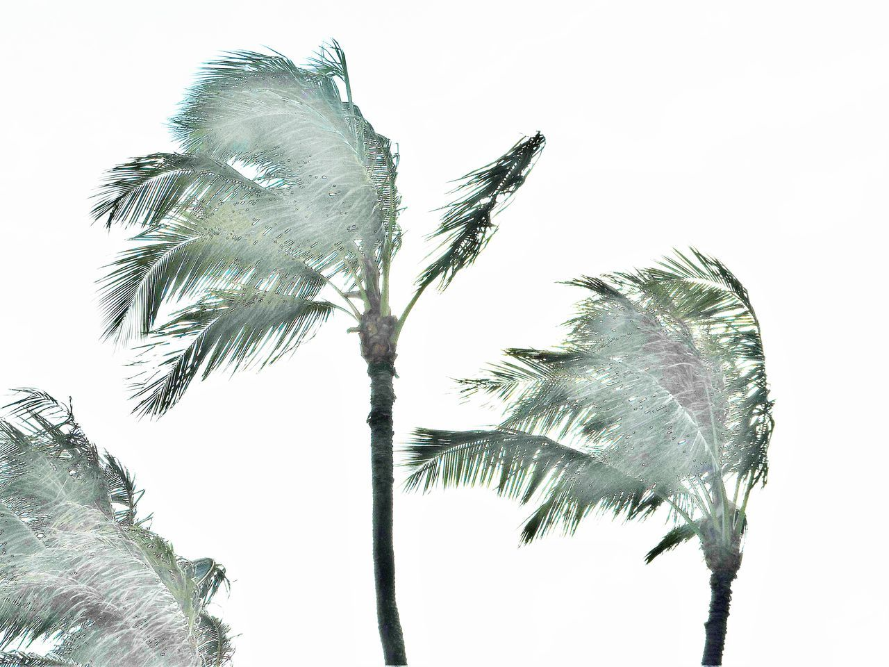 Storm Winds Blowing Coconut Palm Trees Against Clear Sky