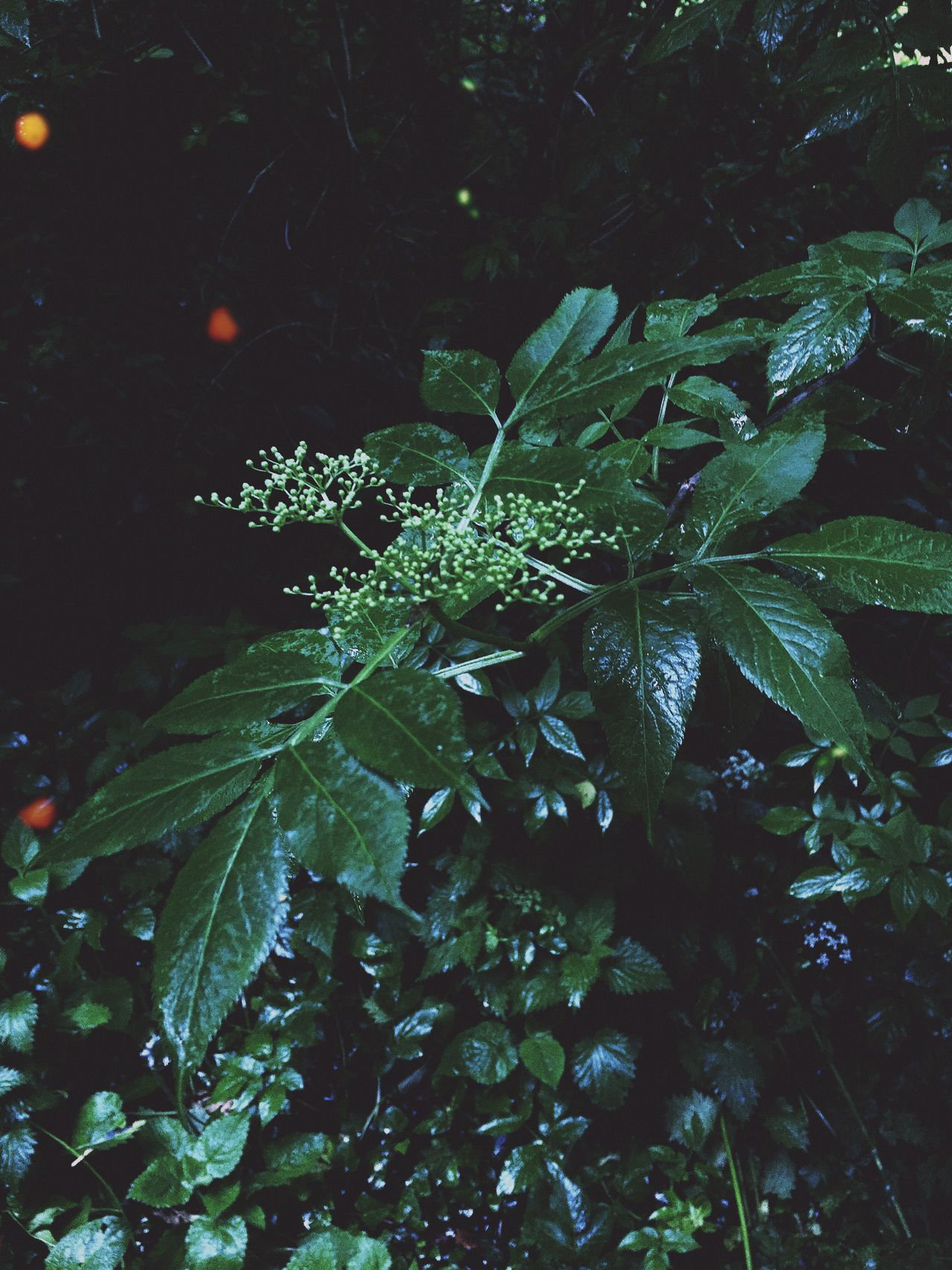 Firefly // iPhone 6s // Leaf Growth Water Nature Plant Drop Green Color No People Beauty In Nature Outdoors Close-up Freshness Fragility Tree Nature Firefly Lighting IPhoneography Iphone6s This Week On Eyeem EyeEm Best Shots EyeEm Nature Lover ShotoniPhone6s Water Droplets Summer The Great Outdoors - 2017 EyeEm Awards