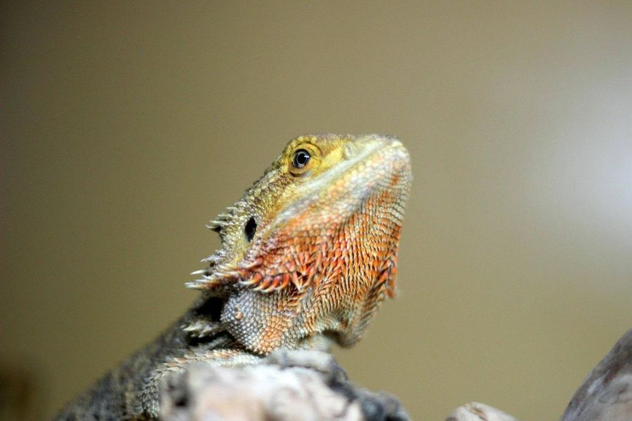 Curious lizard. One Animal Bearded Dragon Reptile Animals In The Wild Animal Wildlife Animal Themes Lizard Close-up Nature Day Indoors  Photography EyeEm Nature Lover Eyemphotography EyeEmNewHere
