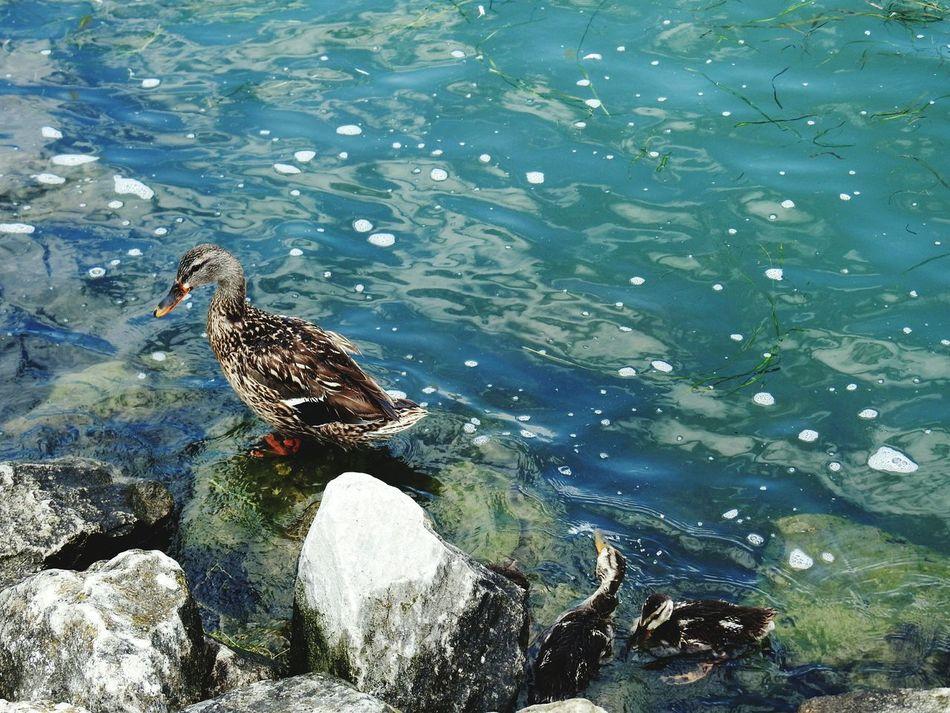 Ducks In The Water Bird Photography Ducks Swimming Ducks ❤ Ducks In A Row Ducks At The Lake Ducks In Water Ducks😄 DUCKS :)