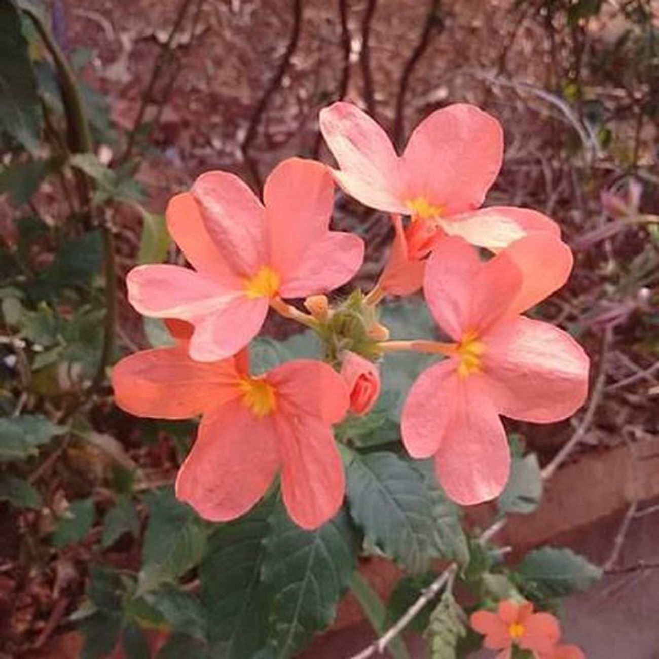 Aboli(firecracker flower).🌼🌼🌼 Flower Plants Orange Nature Life Beautifull India ASIA World Earth Instagram Natgeo Photographer Picoftheday Photooftheday Instagood Instalike Follow Followme Like Like4like Igers Aboli Firecrackerflower