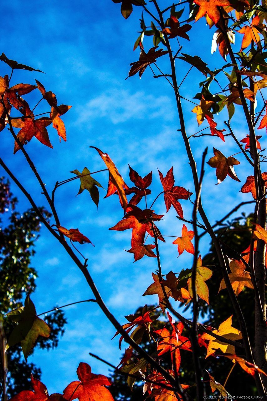 leaf, autumn, tree, change, growth, leaves, nature, beauty in nature, day, low angle view, maple tree, maple leaf, branch, no people, outdoors, sky, maple, close-up