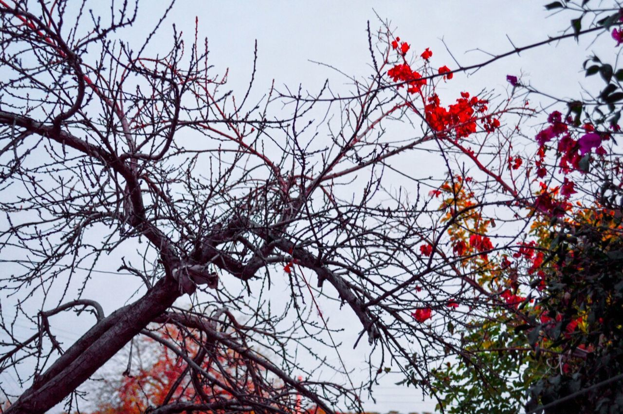 branch, red, low angle view, tree, growth, nature, flower, no people, beauty in nature, day, outdoors, fruit, bare tree, freshness, sky, fragility, close-up