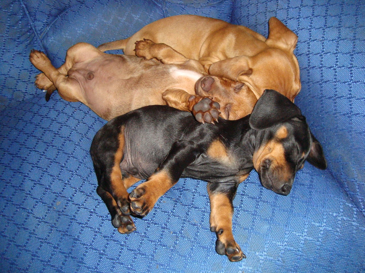 dog, pets, domestic animals, puppy, indoors, blue, mammal, animal themes, togetherness, no people, day