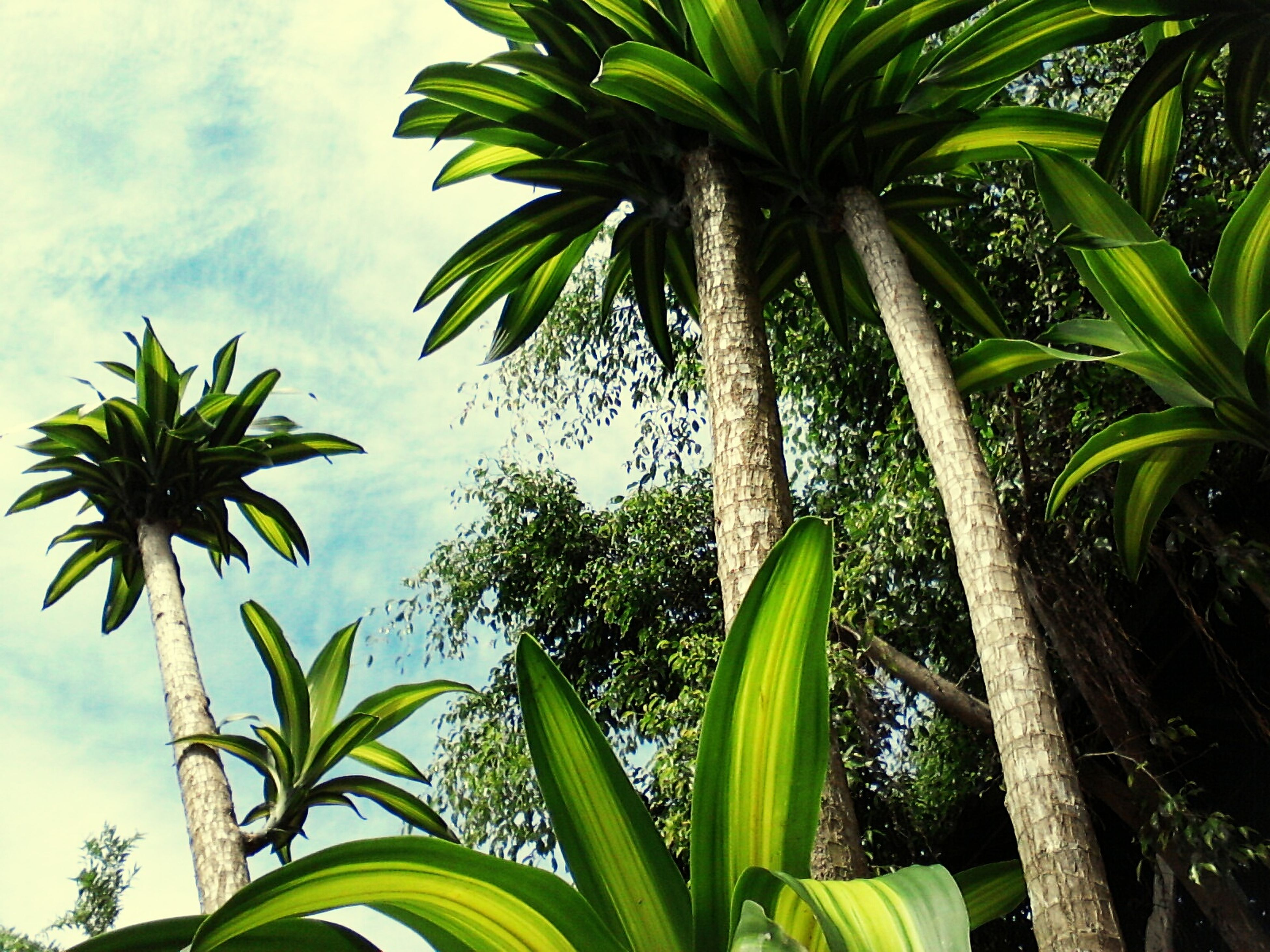 palm tree, tree, growth, green color, leaf, low angle view, nature, sky, no people, tropical climate, outdoors, day, beauty in nature