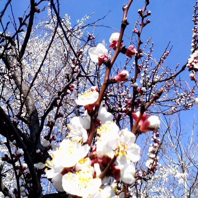 Blossom Tree Trees Blossoming  Nature Apricot Flowers Apricot Blossoms Apricot Eyeem Market Wolfzuachis