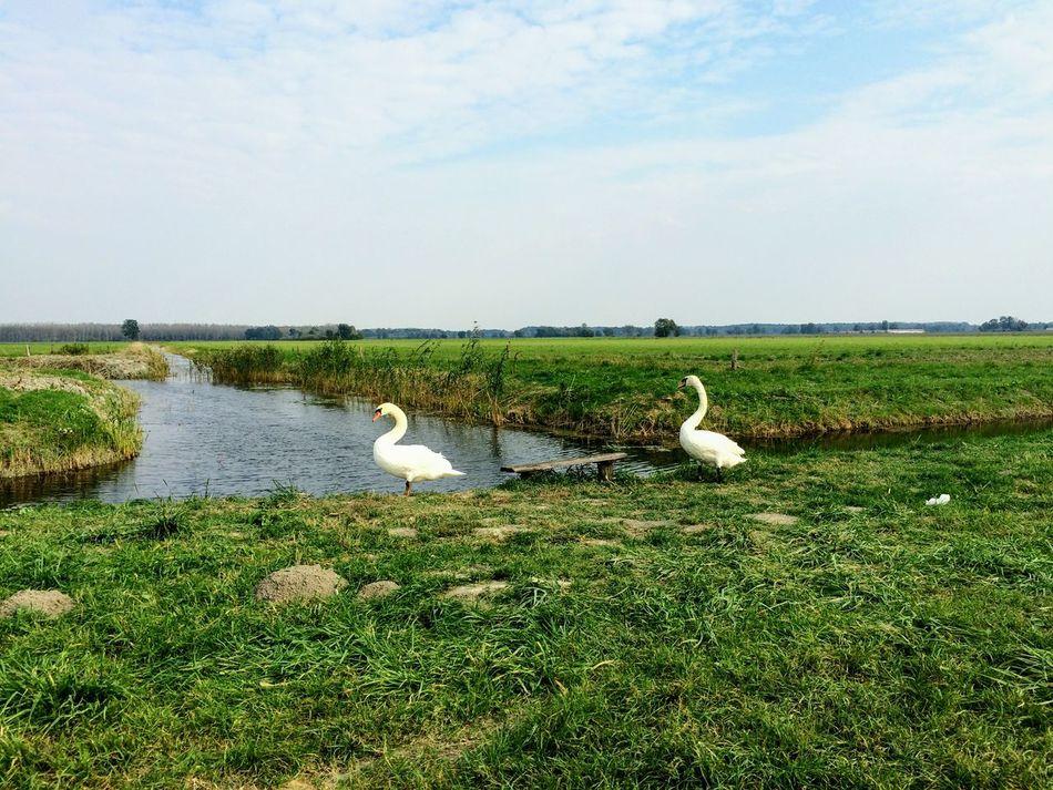 Animal bird Sky Nature Green Color Lake Water Swans