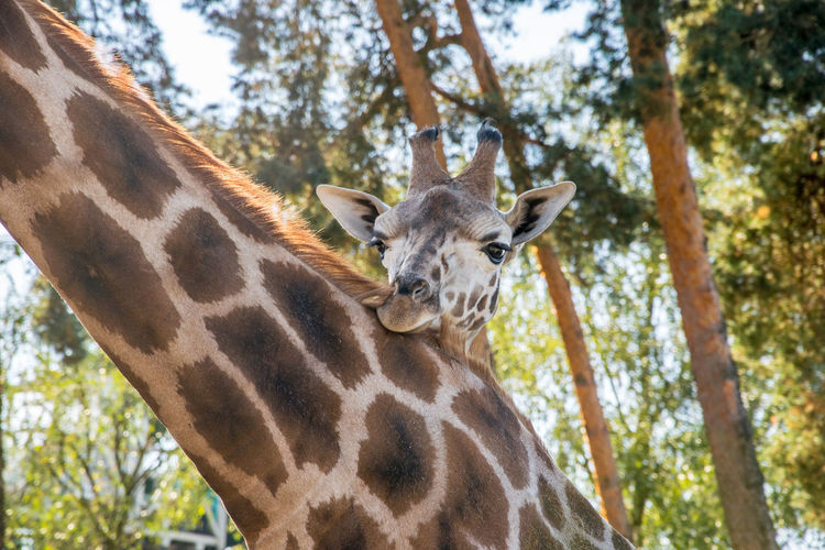 Animal Neck Animal Themes Animal Wildlife Animals In The Wild Babygiraffe Beauty In Nature Close-up Day Forest Giraffe Herbivorous Looking At Camera Mammal Mother With Child Nature No People Outdoors Portrait Safari Safari Animals Tree