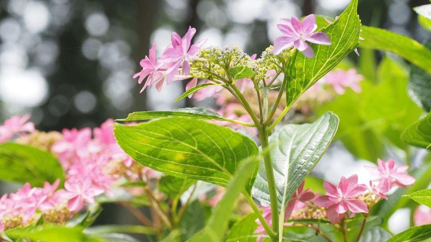 三室戸寺。 あじさい あじさい寺 Flower Beautiful Nature Beautiful ♥ Flowerlovers Flower Photography EyeEm Nature Lover EyeEm Best Shots Pink Japan,koyto