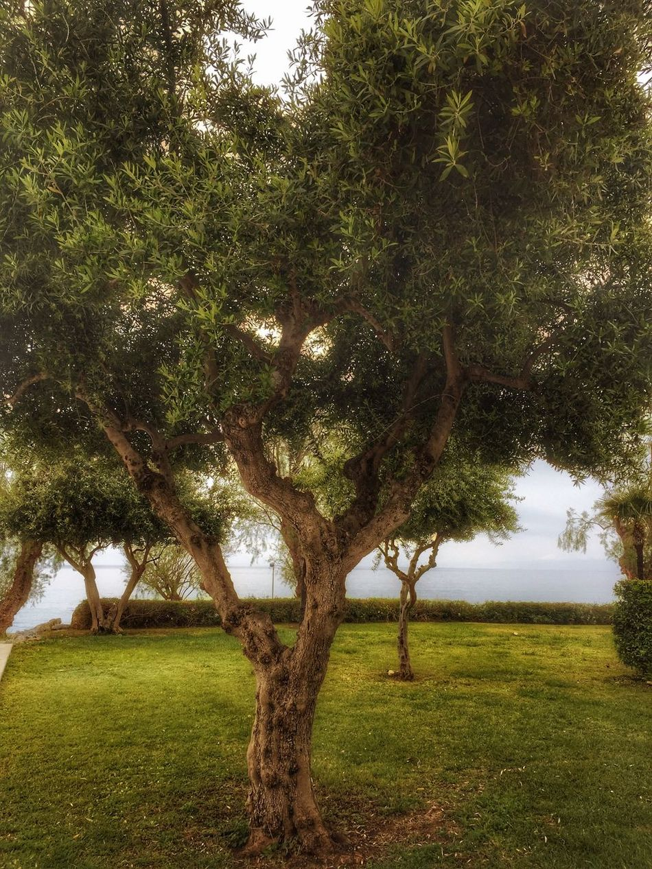 Olive tree Nature Growth Outdoors Tranquility Beauty In Nature Kalamata