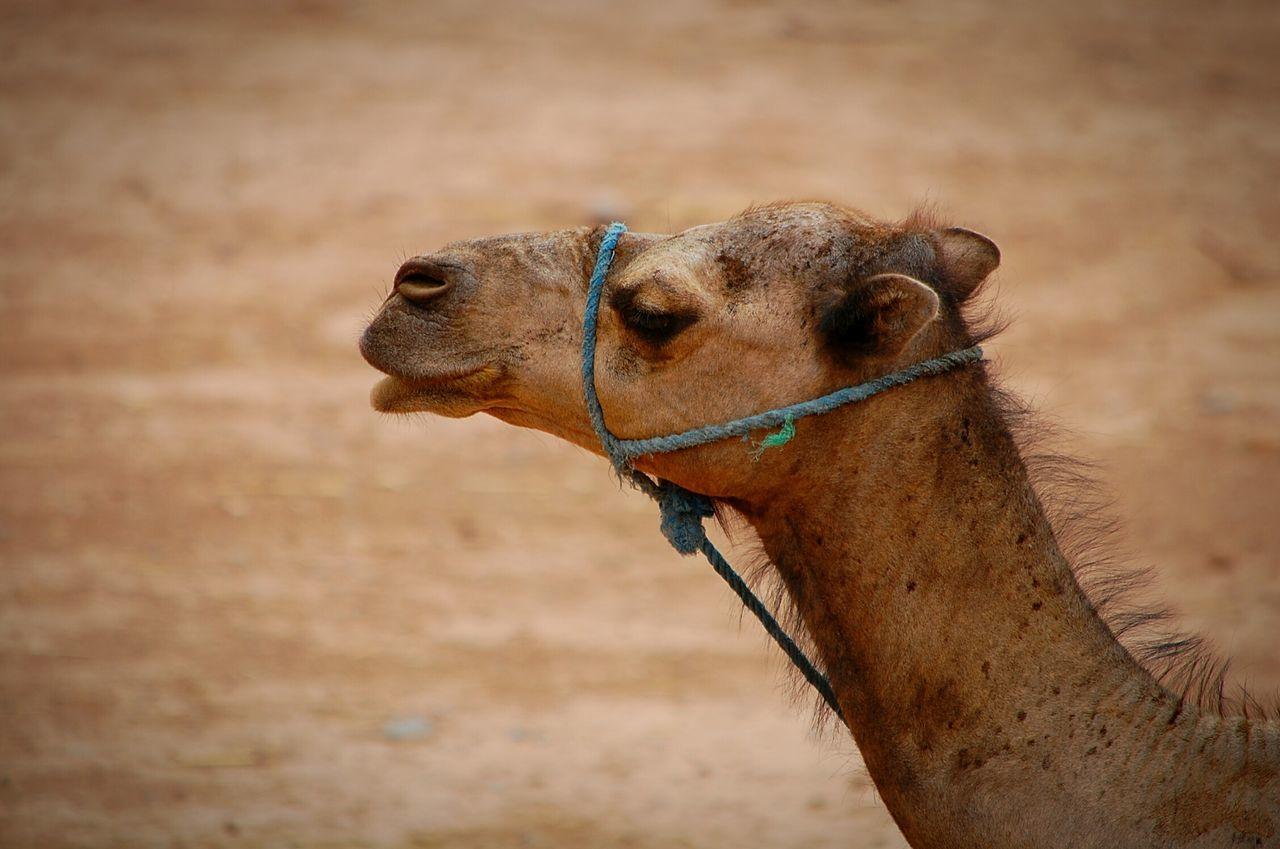 Beautiful stock photos of camel, Animal Head, Animal Themes, Camel, Close-Up