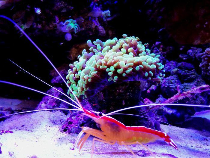 Cleaning shrimp Sea Life Underwater Aquarium Nature Cleaning Shrimp Coral Animal Wildlife Reeftank Coral Reef Reef Fishtank Aquarium Life Fishkeepers Aquarium Photography Marine Life Fishkeeping