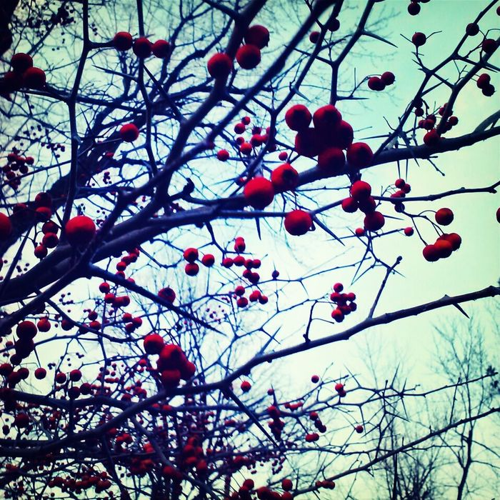 Berries Nature Trees Red Droidography Naturehippys Nature_collection Best Of Winter