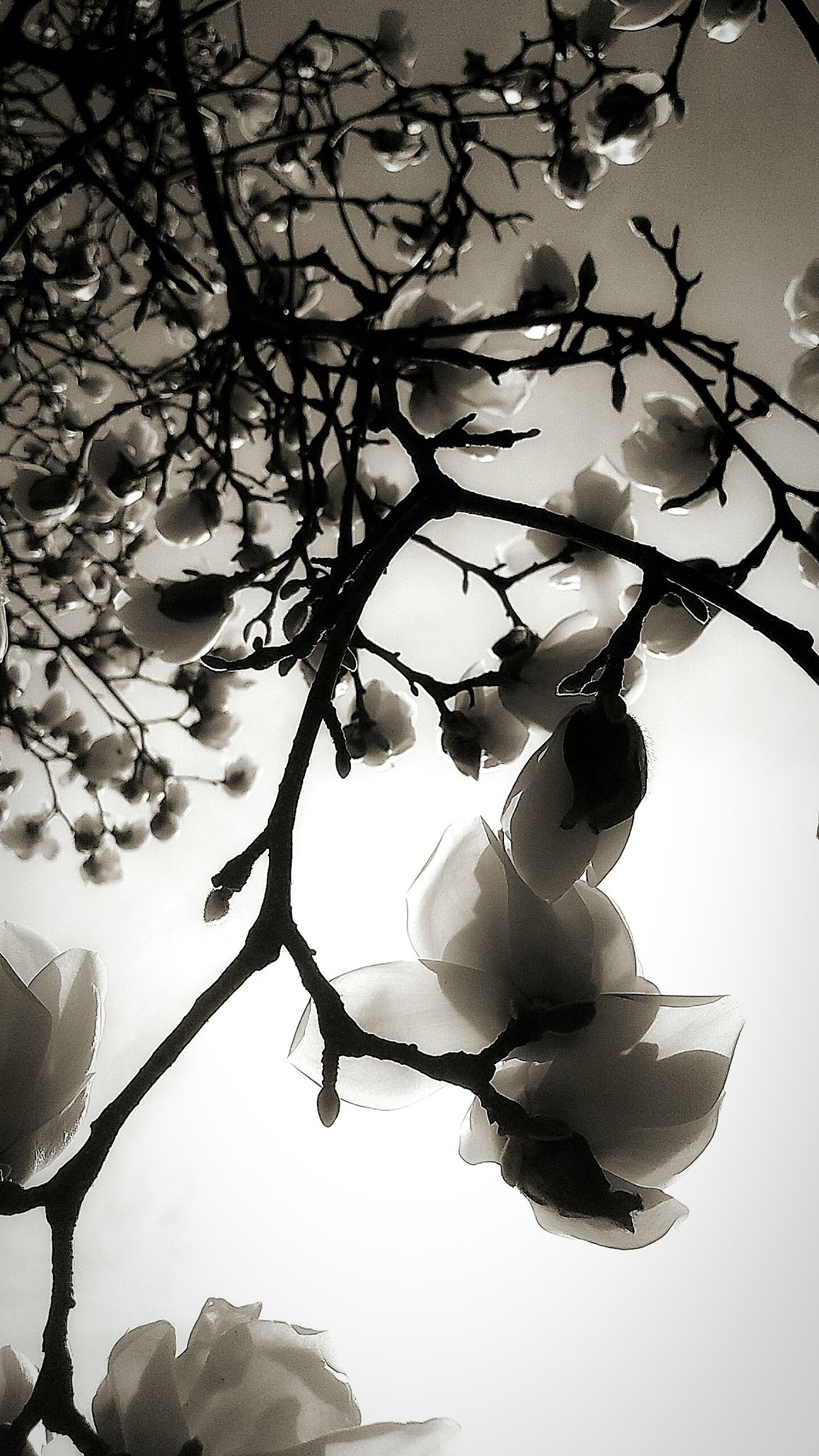 Tree Nature Beauty In Nature Flowerporn Flowers Flower From My Point Of View Getting Inspired Silhouette Moments Blooming EyeEm Nature Lover Light And Shadow Lookingup Springtime Nature Monochrome Blackandwhite