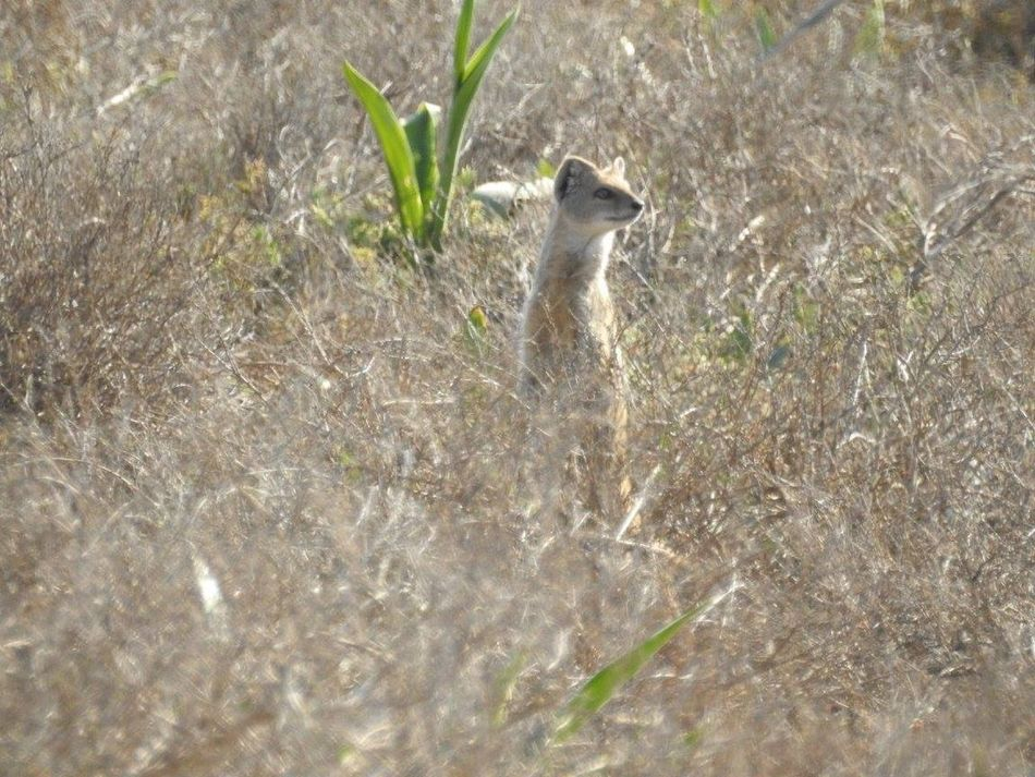 Africa Wildlife African Safari Animals In The Wild Beauty In Nature Grass Mammal Mongoose Nature One Animal