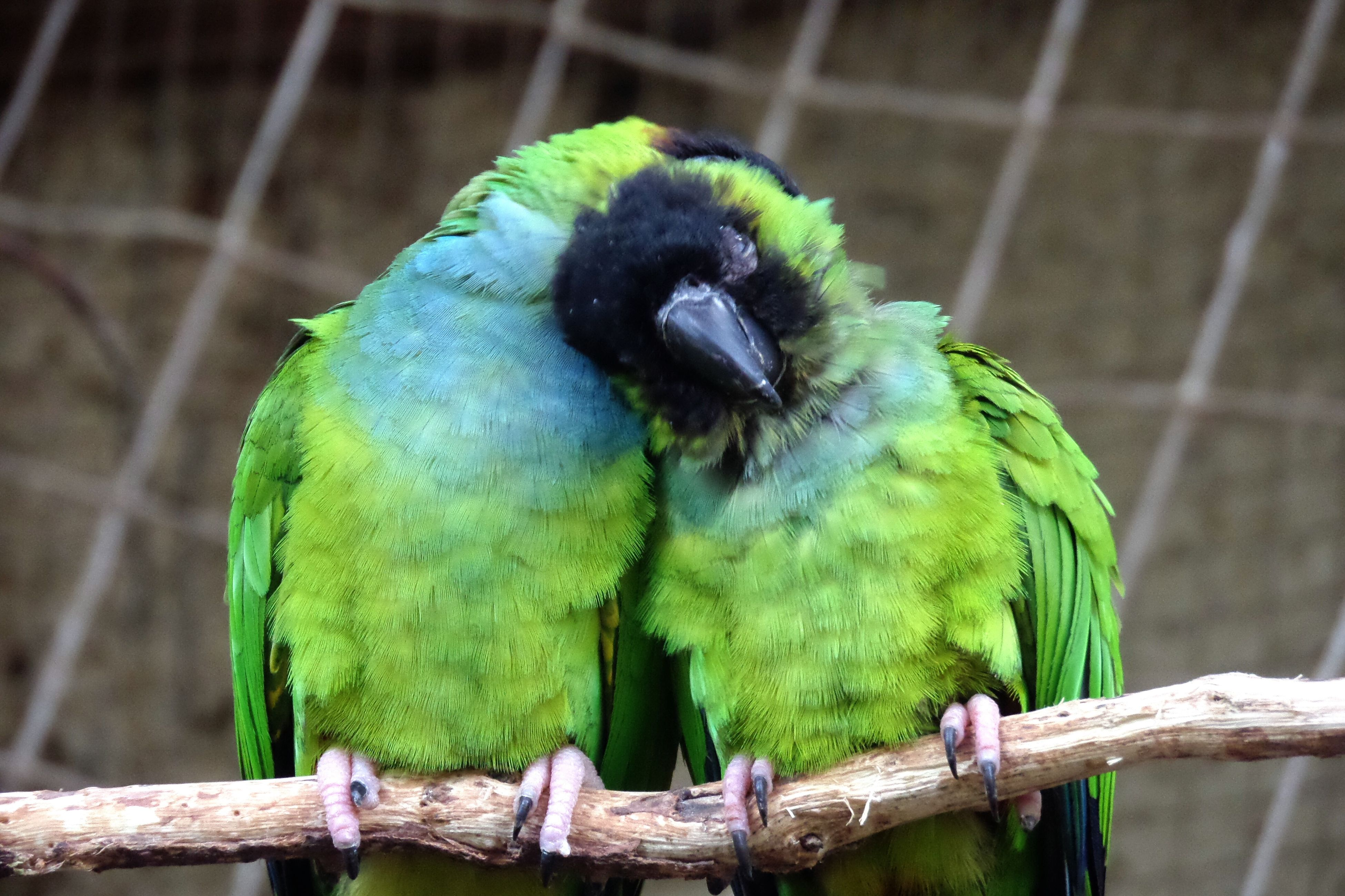 bird, animal themes, perching, one animal, focus on foreground, animals in the wild, close-up, wood - material, wildlife, green color, nature, branch, parrot, outdoors, fence, day, no people, tree, beauty in nature, railing