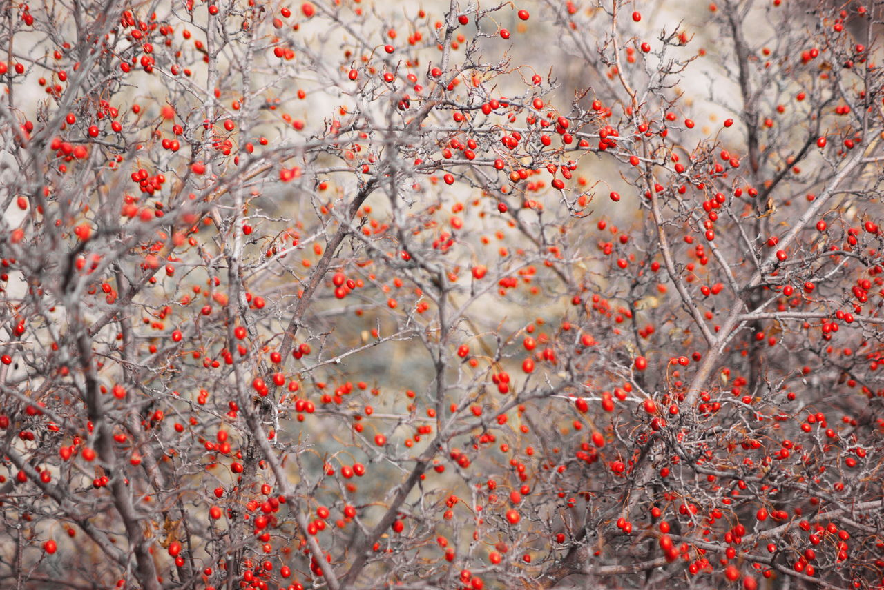 Autumn Autumn Colors Bokeh Branch Branches Fruits Hawaii Life Hawthorn Nopeople Red